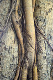 Religiosa tree bark closeup backgroundnal root system, Royalty Free Stock Images