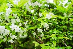 Religiosa Wrightia вид дерева в Apocynaceae семьи Стоковое фото RF