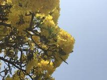 Religiosum amarelo tropical de Cochlospermum da flor da árvore do copo da flor ou da manteiga do algodão com o céu azul claro no  foto de stock
