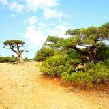 Reliktwacholderbusch, der auf Felsen wächst stockbilder