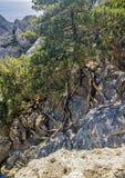 Reliktwacholderbusch- und -kiefernwaldungen, wunderbar wachsend auf Felsen von Lizenzfreies Stockbild