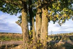 Relikwia dęby z bujny koronami iluminować zimnym jesieni słońcem Pięknego antycznego dębowego gaju Złota jesień Pole, rozległość zdjęcia stock