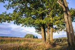 Relikwia dęby z bujny koronami iluminować zimnym jesieni słońcem Pięknego antycznego dębowego gaju Złota jesień Pole, rozległość zdjęcie stock