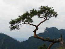 Reliquia 500 años del pino en Sokolica Imágenes de archivo libres de regalías
