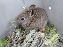 Relocalisation pygméenne de lapin Photographie stock