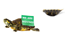 Relocating turtle Stock Image