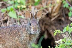 Relojes lindos peque?os de Marsh Rabbit cuidadoso fotos de archivo libres de regalías