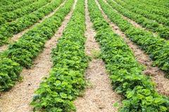 Rema le piante di fragola su un'azienda agricola Immagine Stock