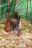 Remain of the dead tree. The remain of the dead tree in a forest Stock Photography