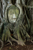 Remain of stone budda head in the tree roots Royalty Free Stock Image