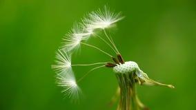 Remaining dandelion seeds Royalty Free Stock Image