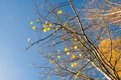 Remaining leaves to be fallen on sunny morning in Autumn. Nature poetic Royalty Free Stock Image