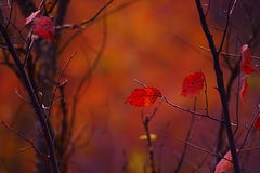 The remaining single red autumn leaves on the branches of bushes Royalty Free Stock Photo