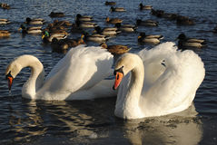 The remaining swans in winter. A pair of swans left to winter in the city and flown away to the south Royalty Free Stock Photo