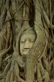 Remains of Buddha statues The head in tree Wat Mahathat. Royalty Free Stock Photography