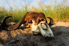 Remains of Buffalo Skull spotlighted by the African sun lay in grasslands. Remains of Syncerus caffer, African Buffalo Skull spotlighted by the sun lay in Stock Image