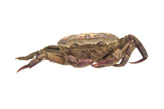 Remains of dead crab Stock Photography
