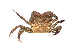 Remains of dead crab Royalty Free Stock Images