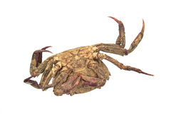Remains of dead crab Royalty Free Stock Photography