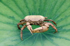 Remains of dead crabs turn to look at you Royalty Free Stock Photo