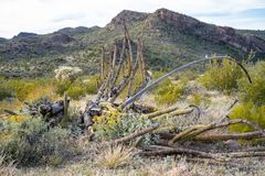 Remains of a dead Organ Pipe Cactus in Arizona. In the Sonoran Desert royalty free stock images