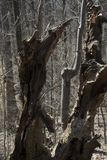 Remains di un albero Immagini Stock Libere da Diritti