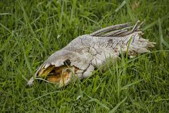Hypostomus dead on the floor. royalty free stock image