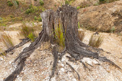 Remains of logged tree Queenstown Royalty Free Stock Photo