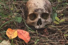 The remains of medieval warrior on the battlefield in autumn. Real human skull on nature grass field. Gothic background royalty free stock photography