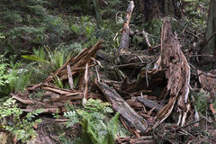 Remains of a Tree Felled by Lightning. Pieces of a tree felled by lightning in a rain forest Stock Images