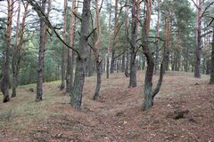 Remains of trenches lines of World War One in pine spring forest of Volyn. Traces of Trench warfare WW1 nowadays. Battleground of. Remains of trenches lines of Royalty Free Stock Photo