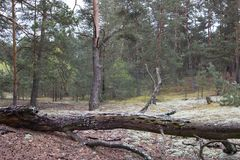 Picturesque strange place covered with lichen in pine forest of Volyn. Remains of trenches of World War One nowadays. Battleground stock image