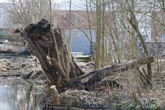 Remains of a willow along the water in waddinxveen the Netherlan. Ds Royalty Free Stock Photo