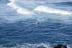 Remando o surfista; Praia de Hookipa imagem de stock royalty free