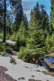 Remanins del invierno frío entre los árboles de pino, profundo en foto de archivo