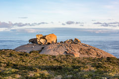 Remarcable rocks in south kangaroo island at sunset Stock Image