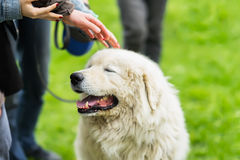 Remarkable fluffy dog with white fur that caress few hands. She is pleased, happy and smiling. Concept of friendship. Remarkable fluffy dog with white fur that Stock Photo