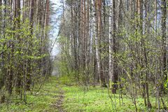 A remarkably fine spring forest. All shades of green at this time. Of year in the forest royalty free stock photos