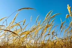 Remata malas hierbas del cereal seco Fotos de archivo libres de regalías