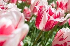 Rembrandt tulip. Red and white Rembrandt tulip variety `Sorbet Royalty Free Stock Photos