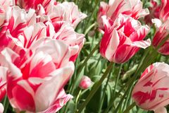 Rembrandt tulip. Red and white Rembrandt tulip variety `Sorbet Royalty Free Stock Photo