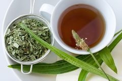 Remedio hecho en casa - lanceolata herbario del plantago del té del llantén - él foto de archivo