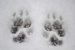 Remember to take your pets in when it is cold outside. Little Paw prints from a puppy dog in fresh fallen snow. Concept of not leaving your pet outdoors when it Royalty Free Stock Photos