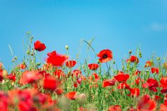 Remembrance day, Anzac Day, serenity. Opium poppy, botanical plant, ecology. Poppy flower field, harvesting. Summer and spring, la. Ndscape, poppy seed Drug and royalty free stock photos
