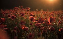 Remembrance day, Anzac Day, serenity. Australia New Zealand Army Corps, narcotics royalty free stock photography