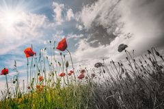 Remembrance day concept, red poppy flowers at the field. With blue cloudy sky and sun, and dark on the other side royalty free stock photo