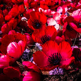Remembrance Day Poppies. Poppies for Remembrance Day in Australia - commemorating the ANZACs who fought in World War II and all the service men and women who Royalty Free Stock Image