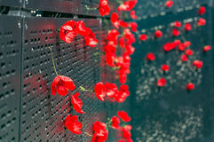 Remembrance day poppy flowers Stock Images