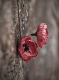 Remembrance Poppies Royalty Free Stock Photos