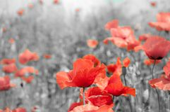 Remembrance poppy. The remembrance poppy was inspired by the World War I poem `In Flanders Fields stock image